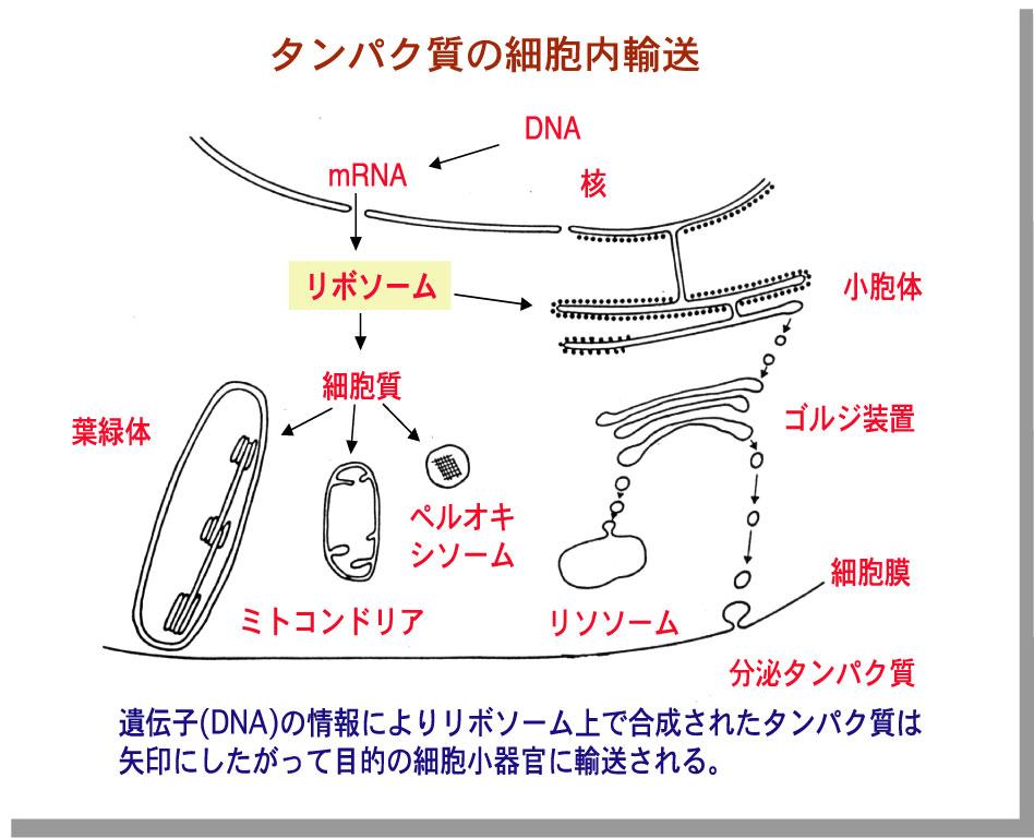 細胞小器官 覚え方